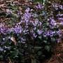 """Plectranthus """" mona lavender """" (Plectranthus mona lavender)"""