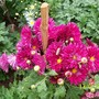 dark pink chrysanthemum