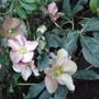 Helleborus_x_hybridus_walberton_s_rosemary_