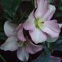 'Walbertson's Rosemary'. (Helleborus x hybridus)