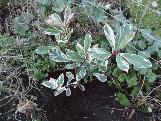 Photinia x fraseri 'Pink Marble' (Photinia cassini)