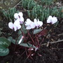 White Cyclamen coum.