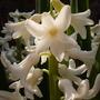 Hyacinth_21.3.09_1.jpg