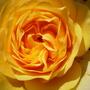 Graham_Thomas_rose_14.6.09.jpg
