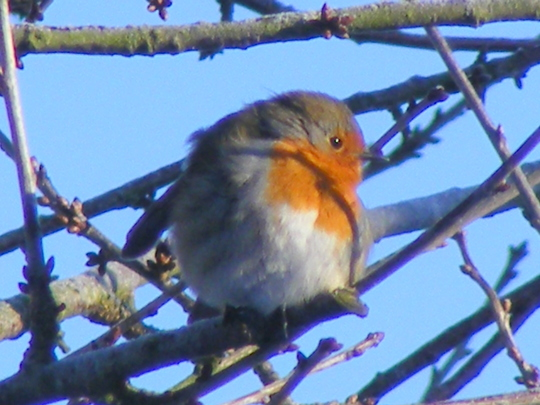 Robin  (after the big freeze)