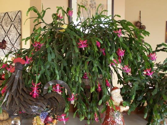 Grand Christmas Cactus (christmas cactus)