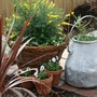 Milk bucket (after) (Bidens Ferulifolia Solaire & Sutera Cabana)