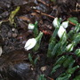 First Snowdrops. (Galanthus nivalis)