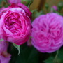 Harlow_Carr.jpg (Rosa &#x27;Gertrude Jekyl&#x27;)