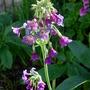 Primula Alpicola Violacea (Primula alpicola (Moonlight Primrose))
