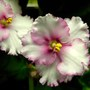 Another new African Violet - Anthoflores 'Hannah'