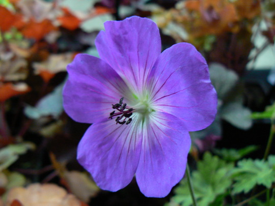 Geranium Jolly Bee PBR