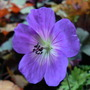 Geranium_jolly_bee