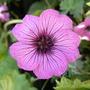 Geranium 'Carol'PBR