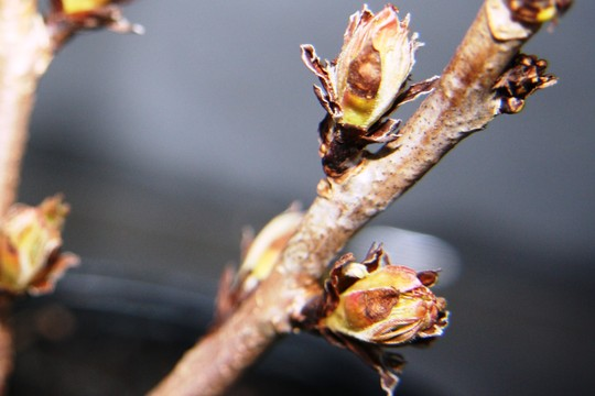 Sorbaria Sem (Sorbaria sorbifolia)