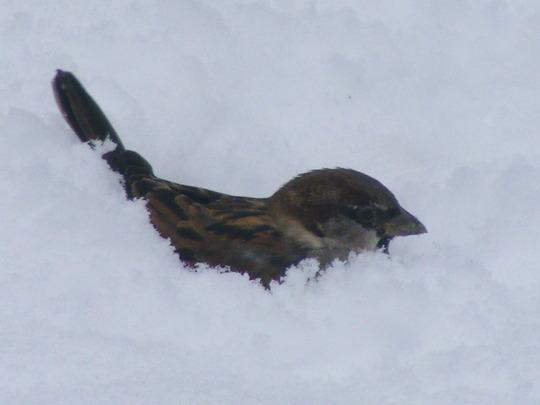 Sparrow ( Snowbathing)