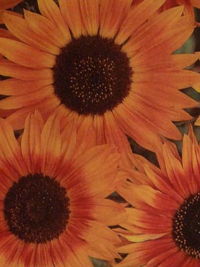 Sunflowers ~ Evening Sunset