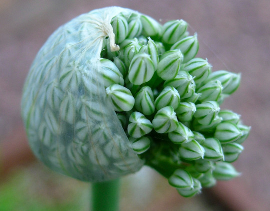 A humble garlic chive