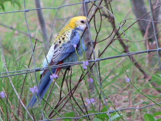 Mid-summer downunder:  A gorgeous garden visitor - the Pale-Headed Rosella