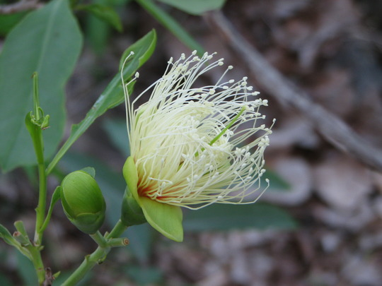 Mid-summer downunder:  Planchonia careya (Cocky Apple) in bloom. (Planchonia careya)
