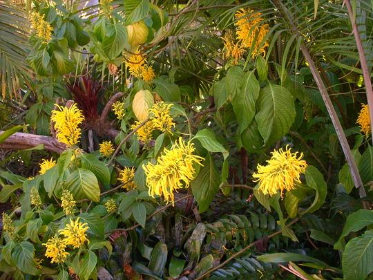Justicia area - Yellow Jacobinia - for Mushybanna (Justicia area - Yellow Jacobinia)