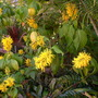 Justicia area - Yellow Jacobinia - for Mushybanna (Justicia area - Yellow Jacobinia)