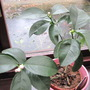 lemon plant (citrus lemon)