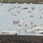 Mixed Wildfowl