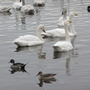 Whooper Swans and Pintail (Ducks)