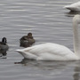 Whooper Swans and Pintail (Ducks) (2)