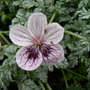 Erodium_purple_haze