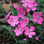 Erodium Manescaui
