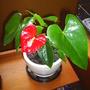 Anthurium andreanum (Anthurium andreanum)