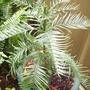 Wollemia nobilis - the Wollemi Pine (Wollemia nobilis)