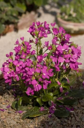 Arabis (Arabis blepharophylla)