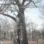 Baobab tree , Africa 08, it had bats living inside...Impressive tree over 100 years old!