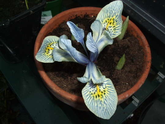 A lovely surprise! (Iris histriodes)