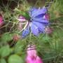 Love-in-a mist (Nigella) and Impatiens (Nigella damascena (Love-in-a-mist))