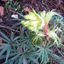 Flower getting bigger and bigger (Helleborous foetida)