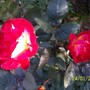 double coloured rose