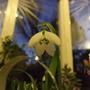 G.elwesii_in_conservatory_4_petals