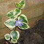 A winter attempt at flowering. Vinca major 'Variegata' (Variegated greater periwinkle) (Vinca major 'Variegata' (Variegated greater periwinkle))