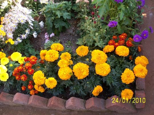 yellow and orange marigold