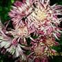 chrysanthemum meroon