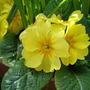 yellow primrose (primula)