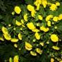 yellow button chrysanthemum