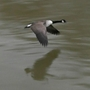Goose_in_flight_river_thames_twickenham