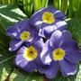 purple primrose (primula)