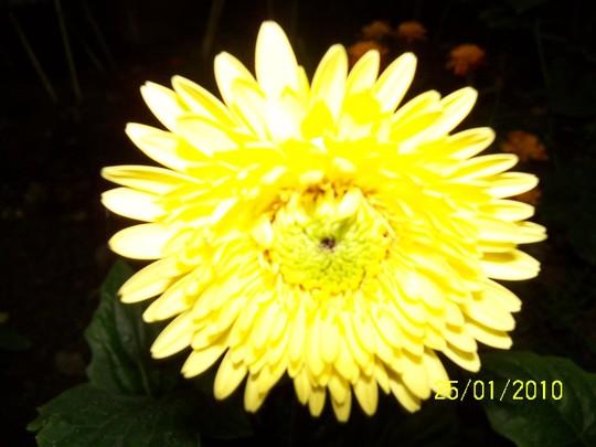 yellow zervera