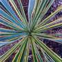 Yucca (Yucca filamentosa (Adam's needle))